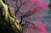 국악인이 추천하는 휴일의 시 24: 벚꽃  (김영월)